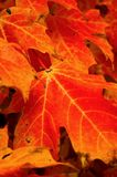 Blazing Orange Color. Blazing orange fall foilage fills frame.  Yellow veins and edges add to the fiery color Royalty Free Stock Image