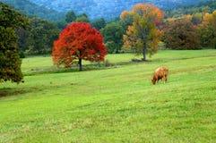 Blazing Orange Maple. Tree highlights green pasture. Single cow grazes in field stock photos