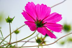Bright purple pink garden cosmos flower blossom and buds Royalty Free Stock Image