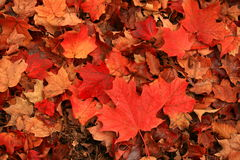 A blazing red maple leaves paint the ground on a cool and cloudy autumn's day. stock image