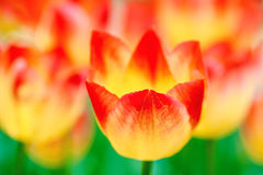 Blazing red and yellow tulip flowers Stock Photos