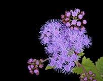 Blazing Star Flower. Blazing Star (Liatris) flower isolated on black stock image