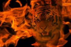 Blazzing tiger över svart bakgrund Arkivbilder