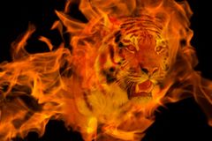 Blazzing Tiger Over Black Background Stock Images