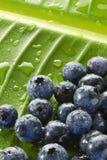 Blåbär bevattnar tappar Leafbakgrund Arkivbild