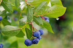 Blåbär på busken med regndroppen Royaltyfri Fotografi