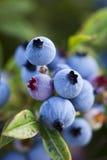 blåbärcloseupfält som växer wild Fotografering för Bildbyråer