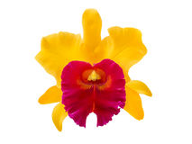 Blc. Patcharee Delight cattleya orchid flower on white. Colorful Blc. Patcharee Delight cattleya orchid flower isolated on white background stock photos
