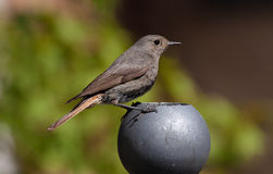 Blck Redstart Royalty Free Stock Photo
