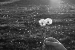 Wishful Dandelions In The Sunlight. Blck and white shot of a female hand holding a pair of dandelions in the sunset Royalty Free Stock Image