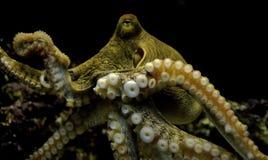 bläckfisk Royaltyfria Foton