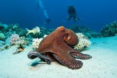bläckfiskred Royaltyfri Foto