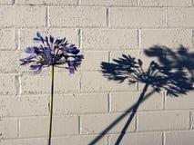 Ble agapantu kwiat Obraz Stock