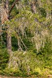 Bleached branches of partially dead trees contrast dark forest. Behind royalty free stock photos