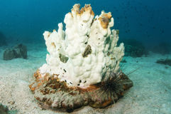 Bleached coral. Environmentally bleached coral in the gulf of Thailand royalty free stock photography