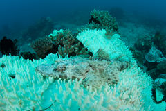 Bleached Coral And Crocodilefish on Pacific Reef. A crocodilefish lays on bleached corals on a reef in Indonesia. Bleaching occurs when corals' endosymbiont stock image