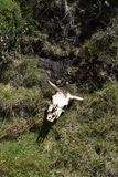 Cow skull in the grass in the Antisana Ecological Reserve, Ecuador Stock Images