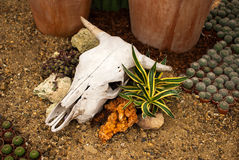 Bleached cow skull. On the ground Stock Photo