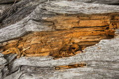 Bleached driftwood with orange center of fragmented wood, Flagst. Bleached driftwood with orange center of decaying wood, on Flagstaff Lake in northwestern Maine Royalty Free Stock Images