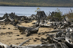 Bleached driftwood on sandy beach of Flagstaff Lake, northwester Royalty Free Stock Image