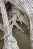 Bleached driftwood stump with roots in the sand, northwestern Ma Royalty Free Stock Photo