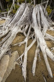 Bleached driftwood stump with roots in the sand, northwestern Ma Stock Image