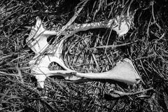 Bleached kangaroo pelvis lying amidst grass in remote Australia in monochrome. Taken from above in black and white in outback Australia royalty free stock photos