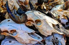 Bleached skulls. Stock Image