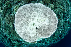 Bleached Table Coral in Indonesia Royalty Free Stock Image