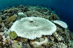 Bleached Table Corals in Indonesia Royalty Free Stock Photography