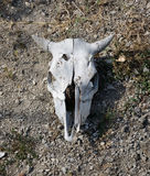 Bleached weathered cattle skull. With horns intact lying on dry arid earth, a stark reminder of droughts, death and mortality royalty free stock photography