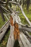 Bleached wood of fallen tree, Teton National Park, Wyoming. Stock Images