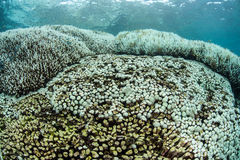 Bleaching Coral Colonies in Indonesia Royalty Free Stock Image