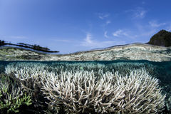 Bleaching Corals in Indonesia. Staghorn corals (Acropora sp.) are beginning to bleach due to high temperatures in Raja Ampat, Indonesia. This beautiful area is Stock Photography