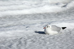 Bleack-headed gull sitting in the snow. On Ruegen island, Germany Stock Photo
