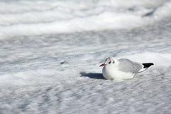 Bleack-vorangegangene Möve, die im Schnee sitzt Stockfoto