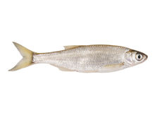 Bleak freshwater fish Stock Photography