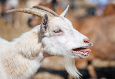 Bleating goat. Stock Photography