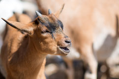 Bleating goat. Stock Photo