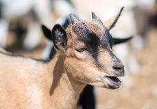 Bleating goat. Royalty Free Stock Photography
