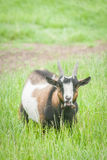 Bleating goat Royalty Free Stock Photo