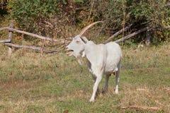 Bleating goat Stock Photos