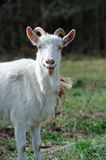 Bleating Goat Stock Photos