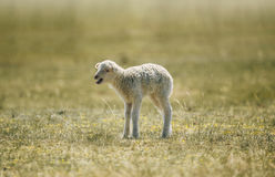 Bleating lamb, a few days old, standing on the grass Royalty Free Stock Photos