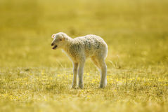 Bleating lamb, a few days old, standing on the grass Royalty Free Stock Photo