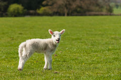 Bleating lamb on green meadow Stock Photography