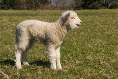 Bleating little lamb Stock Photos