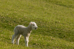 Bleating newborn lamb Royalty Free Stock Image