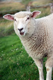Bleating Sheep. Young sheep standing on a field bleating royalty free stock photo
