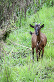 Bleating Tethered goat on hillside Royalty Free Stock Photos